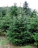 der nächste Weihnachtsbaum?