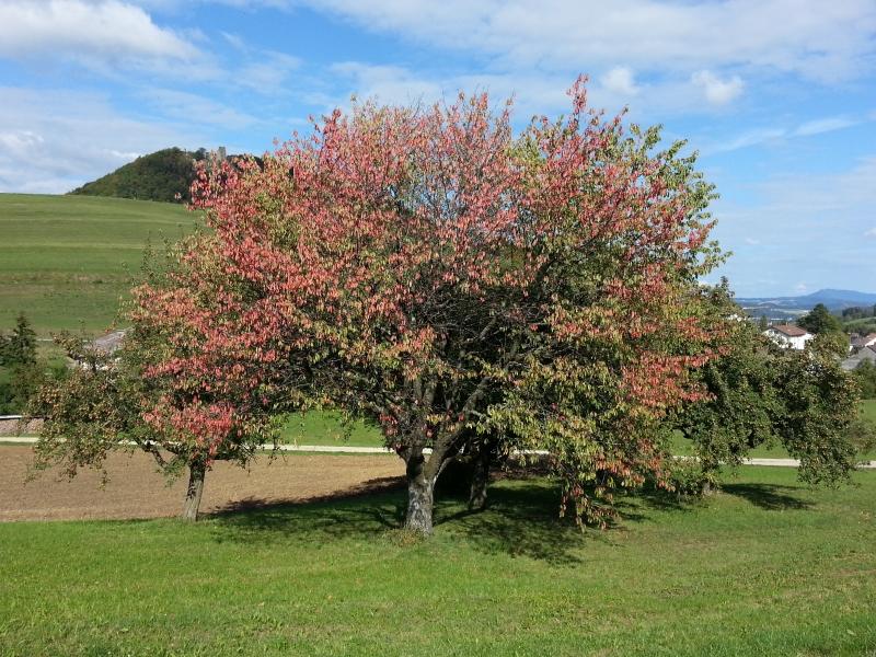 erster herbstlich gefärbter Baum