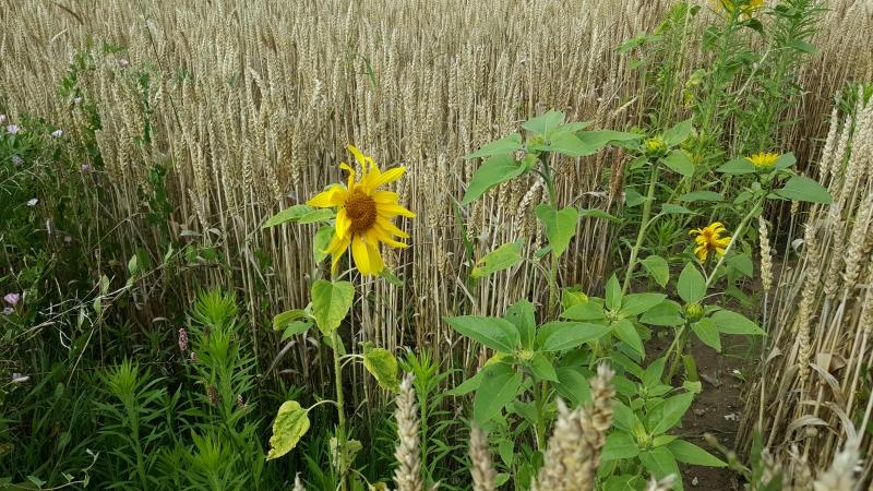 letztes Jahr waren hier Sonnenblumen angepflanzt