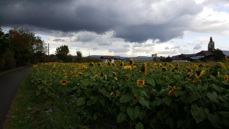Sonnenblumen unter dunklen Wolken