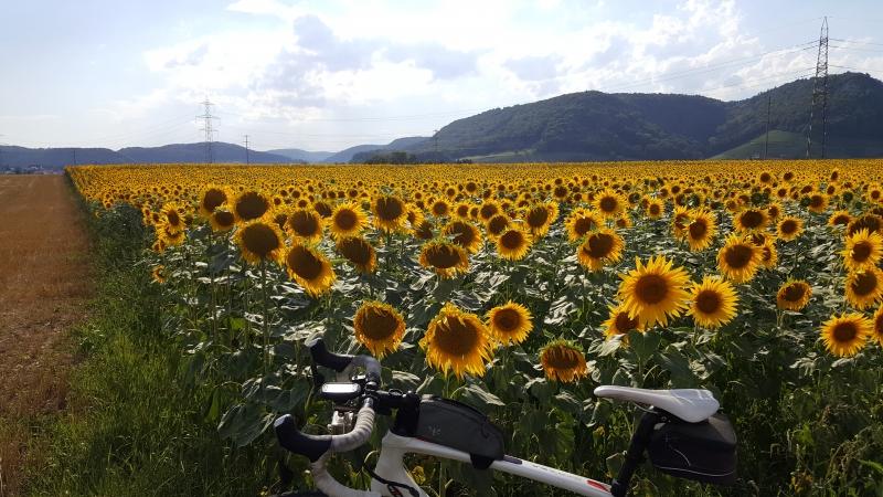 Sonnenblumenfeld auf dem Villigerfeld