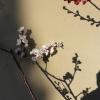 Blühender Aprikosenzweig