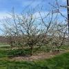 der erste blühende Obstbaum