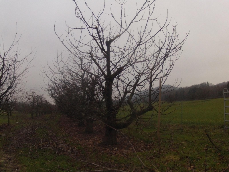 Obstbaumplantage im Winter