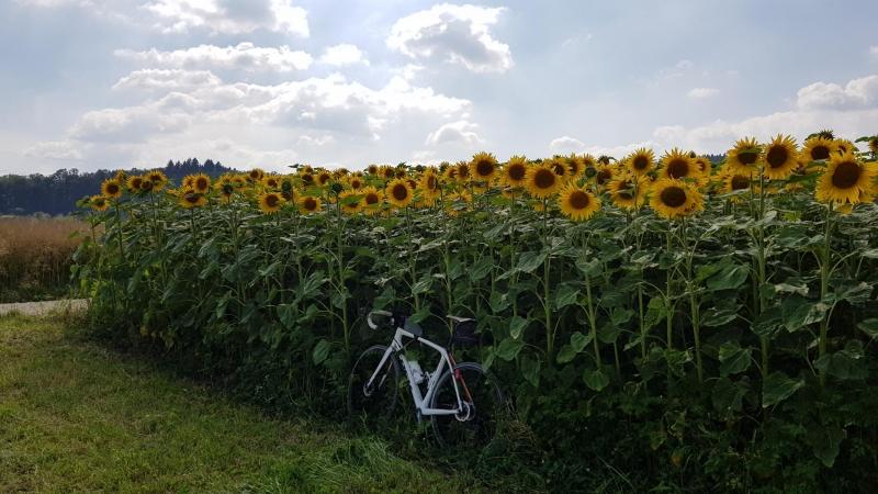 Sonnenblumenfeld im Bünztal