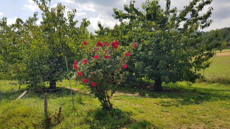 Rosenstrauch vor Kirschbäumen