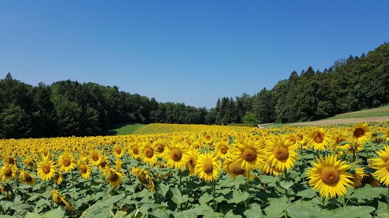 Blühendes Sonnenblumenfeld