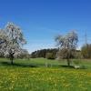 Obstbäume bei Hermetschwil