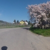 Magnolie bei Safenwil