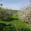 Obstgarten bei Villnachern