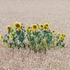 Letztes Jahr wuchs hier ein Sonnenblumenfeld