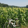 blühendes Maisfeld zwischen Niederwil und Wohlen