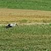 Storch bei Würenlingen