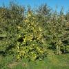 Apfelbaum auf dem Villigerfeld