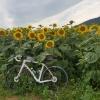 Sonnenblumenfeld oberhalb Auenstein
