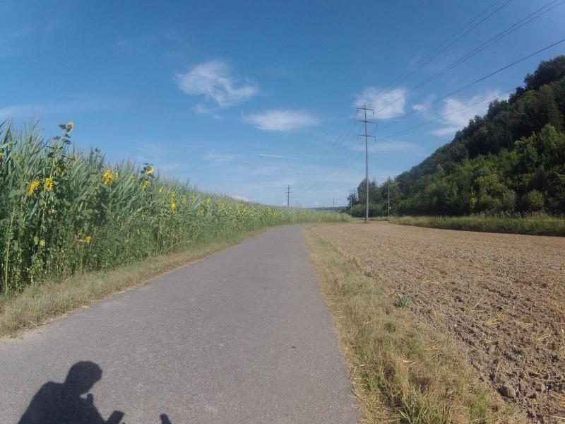Sonnenblumen und Maisfeld