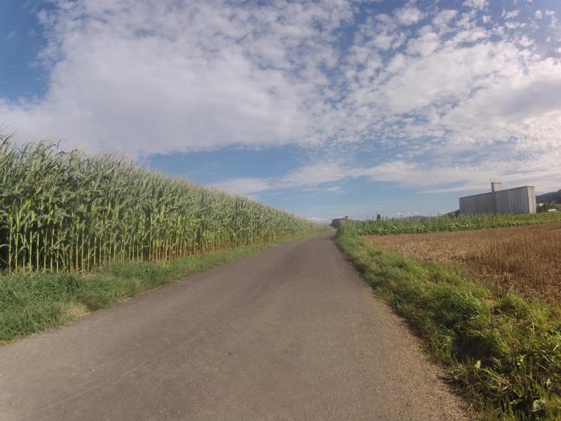 Maisfelder im Bünztal