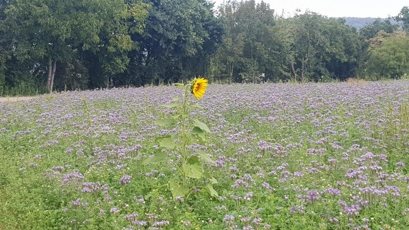 Einzelgänger, Sonnenblume im Acker