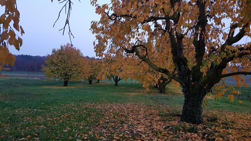 Kirschbäume im Rheintal