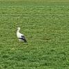 Storch im Reusstal