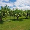 Holunder-Plantage
