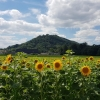 Sonnenblumen vor dem Schloss Brunegg