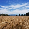 Getreidefeld im Reusstal