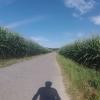 Maisfelder in Leibstadt