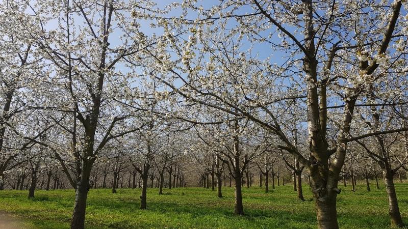 Kirschbäume in voller Blüte