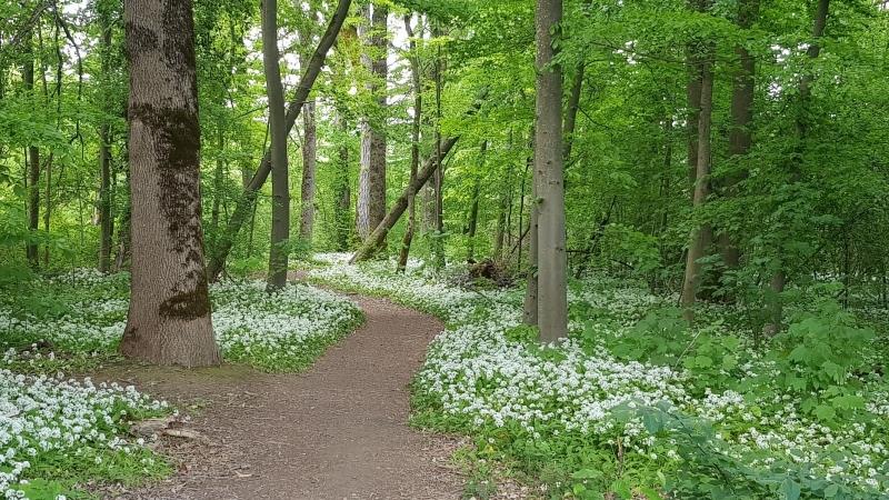 Auenwald und Bärlauch