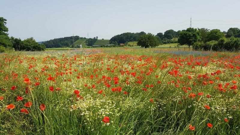 Getreidefeld mit Blumen