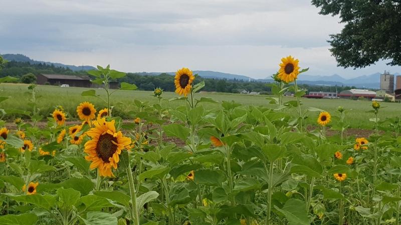 Sonnenblumen bei Möriken