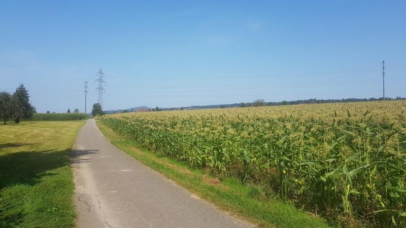 Blühender Mais