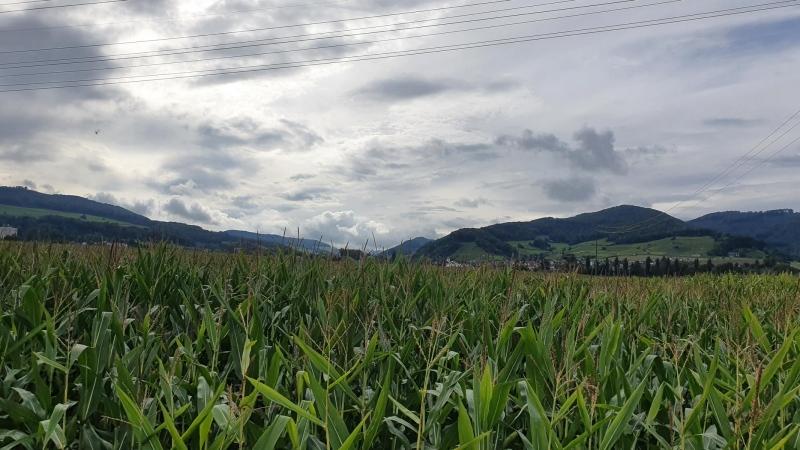 Maisfeld im Villigerfeld, Blick zur Staffelegg