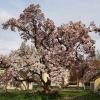 Magnolie im Stadtgarten