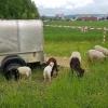 Schafe mit ihren Lämmern