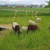 Schafe und ihre Lämmer