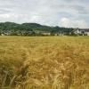 Getreidefeld bei Villnachern