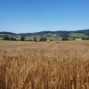 Getreidefeld im Seetal