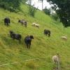 Schafe am Bahndamm