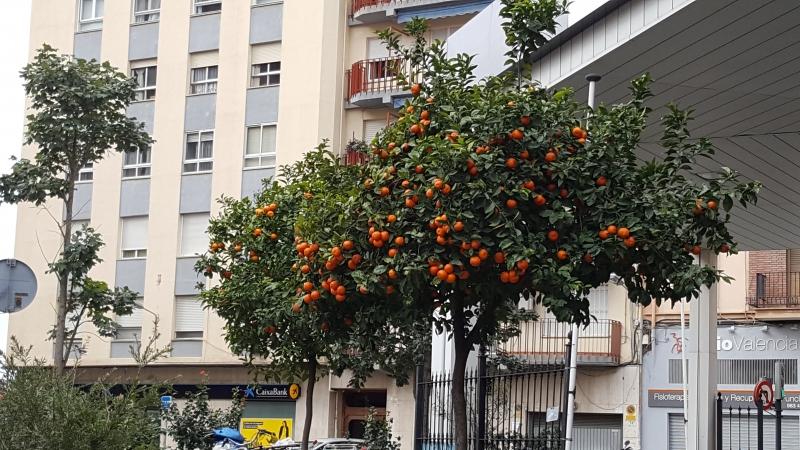 Orangen mitten in Valenzia