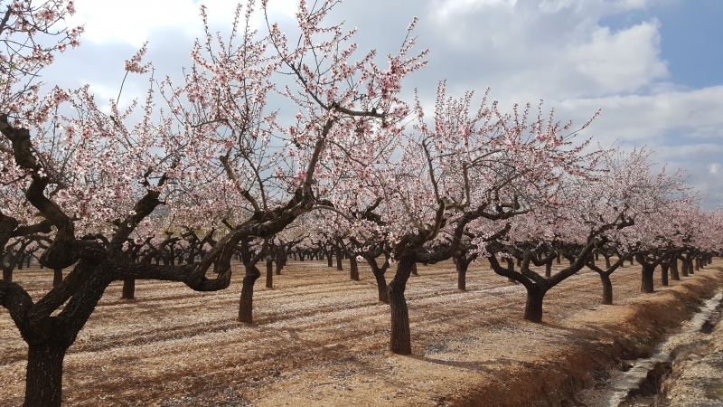 Mandelbäume im Viereck
