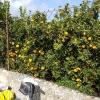 Bei den Orangen