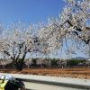 Auch weisse Mandelblüten