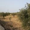 Olivenplantagen