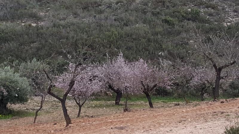 Mandelbäume