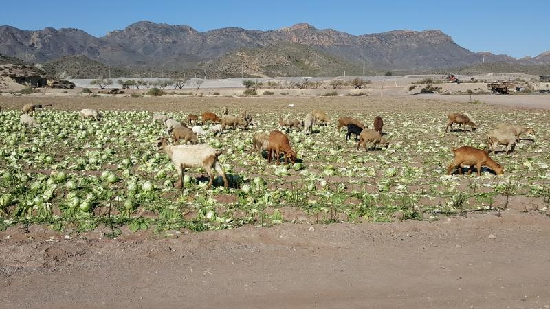 Schafe und Ziegen im Salat