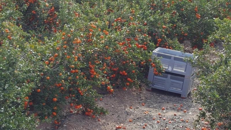 Es wird geerntet in der Orangenplantage