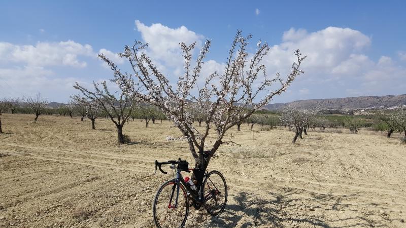 Immer wieder blühende Mandelbäume