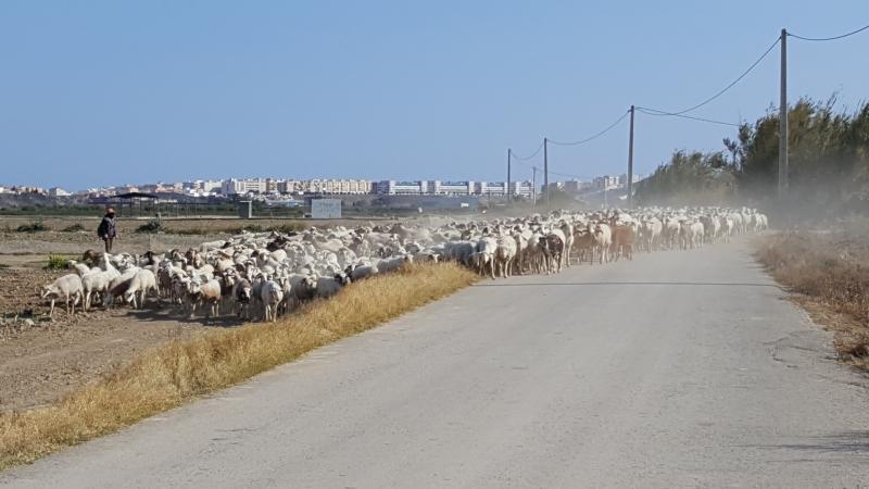 Alle paar Tage eine Schafe- und Ziegenherde